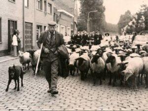 Herding Dutch Shepherd