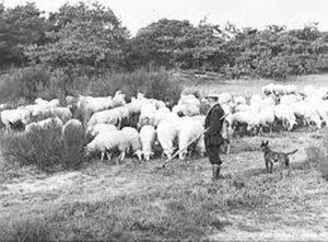 Dutch Shepherd working it's original job