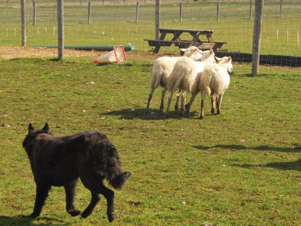 Dutch Shepherd Herding