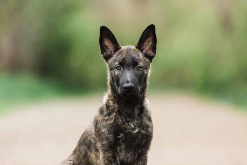 Dutch Shepherd Puppy Health